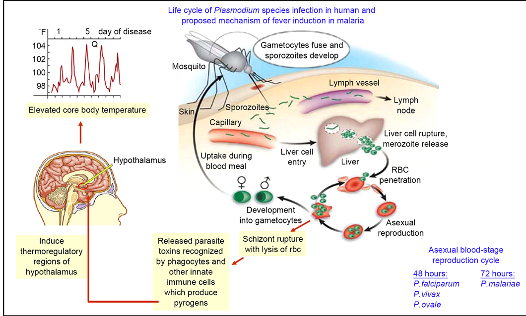 Asexual life cycle of plasmodium species infection