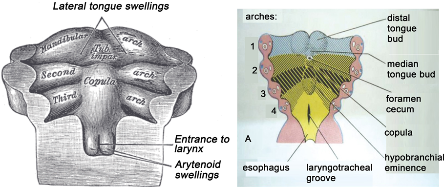Comprehensive Review Of Thyroid Embryology Anatomy Histology And