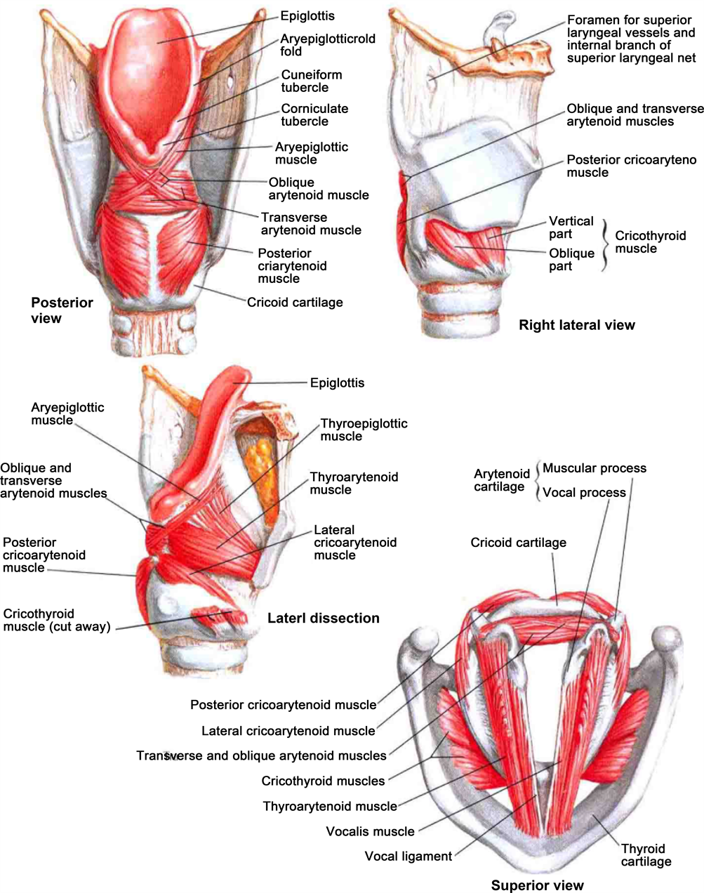 Comprehensive Review of Thyroid Embryology, Anatomy, Histology, and ...